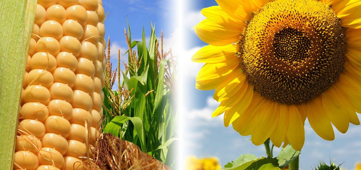 Mais und Sonnenblumen